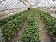 廣田さんのイチゴ畑